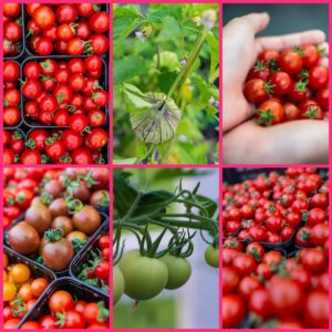 Speciality Tomato